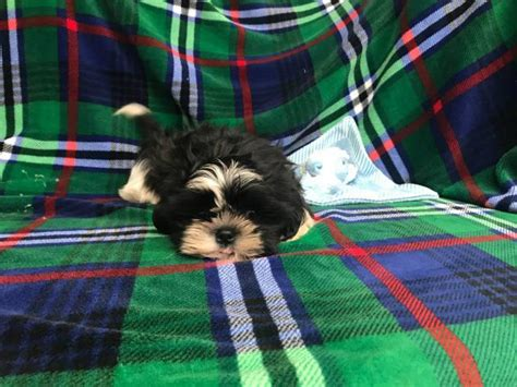 Male Shih Tzu Puppy for Adoption in Spencer, Oklahoma