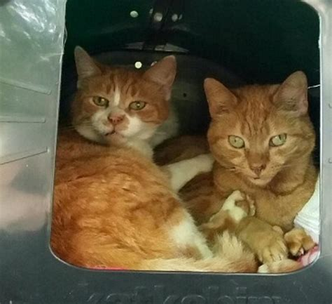 Strangers form chain to get rescue cats home in 300-mile