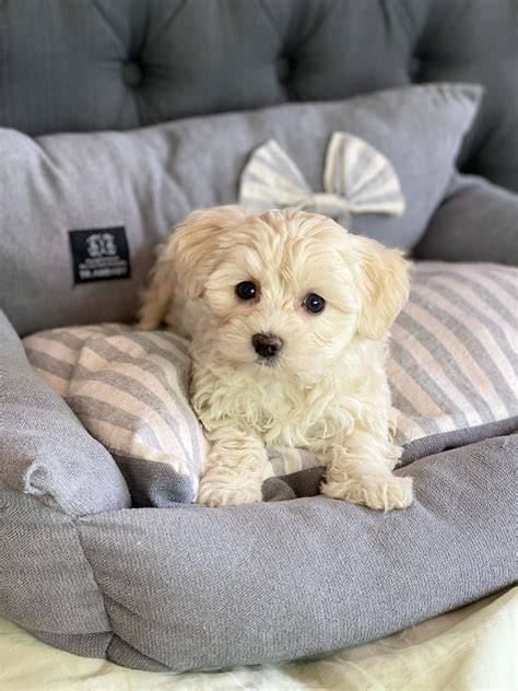 Tiny Maltese - NOT AVAILABLE Teacup Puppies for sale tiny
