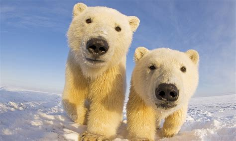 Ice to see you! Curious polar bears get up close and