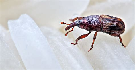 Rice Weevil: 5 Fun Facts & How to Get Rid of Them - PestWiki