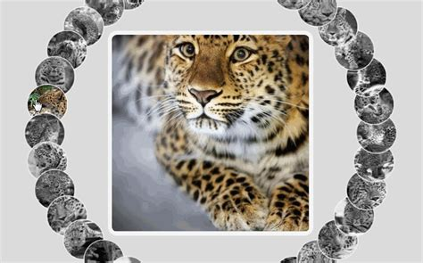 Amur leopard image gallery with CSS vars