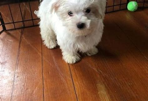 Maltese, Two Teacup Maltese Puppies Needs a New Family